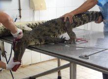 Peta enthüllt grausamste Bedingungen auf vietnamesischen Krokodilfarmen