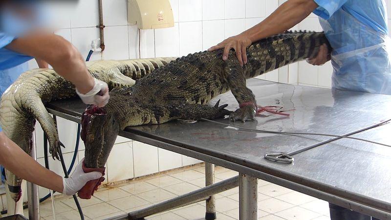 Peta-enth C3 BCllt-grausamste-Bedingungen-auf-vietnamesischen-Krokodilfarmen in Peta entdeckt üble Quälerei: Krokodile müssen für Luxustaschen leiden