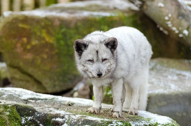 Polarfuchs in feier Wildbahn