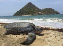 Die Lederschildkröten zieht es immer wieder nach GrenadaDie Lederschildkröten zieht es immer wieder nach Grenada