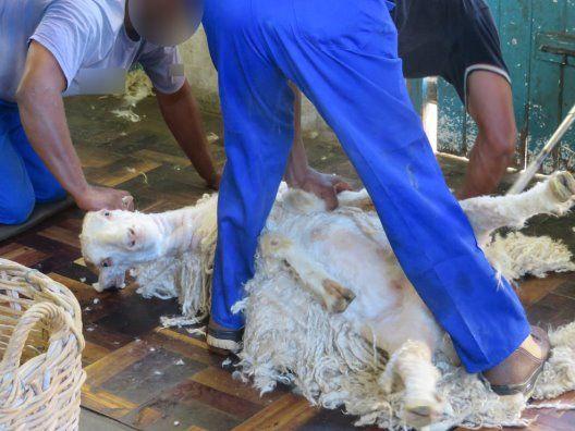 Erstmals deckte ein Augenzeuge auf, wie grausam Ziegen in der Mohair-Industrie verstümmelt und getötet werden