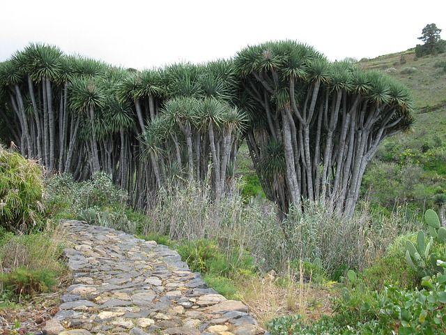 Klein und grün: Drachenbäume auf La Palma