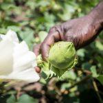 Nachfrage nach CmiA-Baumwolle steigt: Anteil von fair-produzierter Baumwolle legt um fast 17 Prozent zu