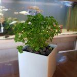 Aquarium züchtet Gartenkräuter: Gewinne frische Vitamine aus überflüssigen Nährstoffen