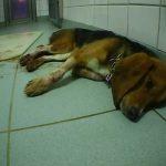 Privates Tierversuchslabor entlarvt: Blutende sterbende Hunde, Gewalt gegen Tiere und weitere Rechtsbrüche