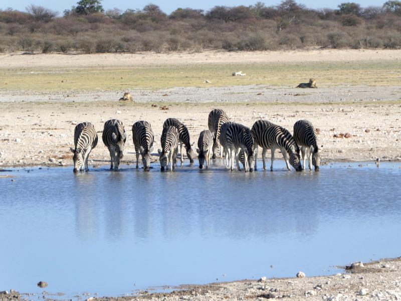 Zebras an einem Wasserloch in der Kalahari