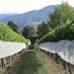 Neuseelands Weingeschichte begann vor genau 200 Jahren