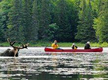 Während der 20-tägigen Kanutour können Elche gesichtet werden
